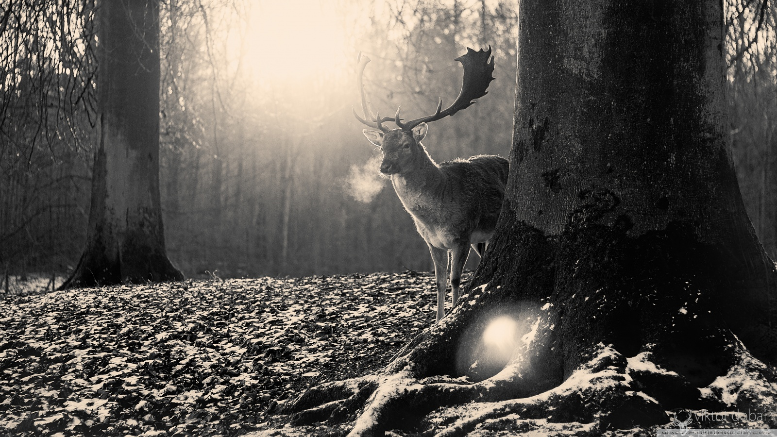 cervo nella foresta in bianco e nero